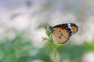 vlinder en bloem, gemeenschappelijke tijger foto
