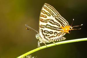 club silverline vlinder foto