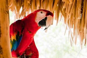 rode papegaai foto