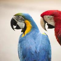 papegaai Ara foto