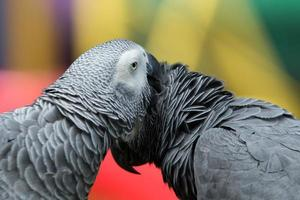 papegaai vogel foto