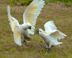 kaketoes in conflict foto
