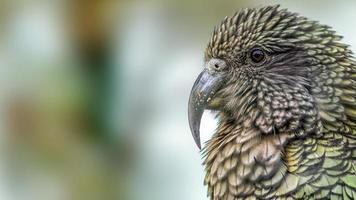 kea papegaai (nestor notabilis) portret (bijgesneden versie). foto