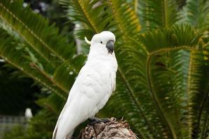 witte Australische kaketoe op zoek
