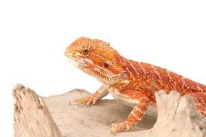bebaarde draak op tak foto