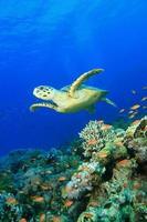 karetschildpad en koraalrif foto