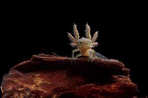 newt larve met kuif foto