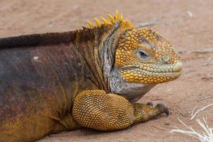galapagos leguaan foto