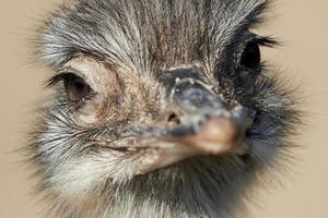 gemeenschappelijke struisvogel (struthio camelus) foto