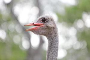 close up van struisvogel hoofd foto