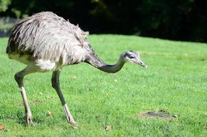 struisvogel, strauß foto