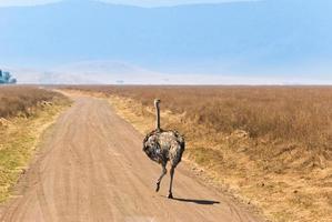 struisvogel op de weg foto