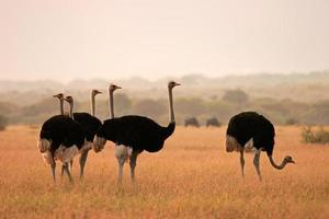 struisvogels zelf in een veld foto