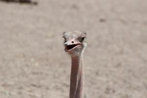 Afrikaanse struisvogel close-up foto