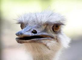 struisvogel hoofd close-up. foto