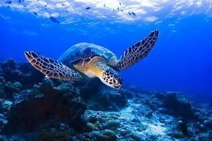 zwemmende schildpad foto