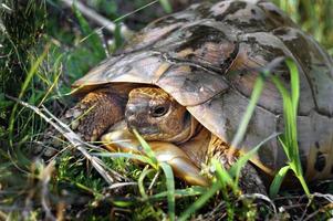 wilde schildpad foto