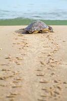 onechte zeeschildpad (c. caretta) foto