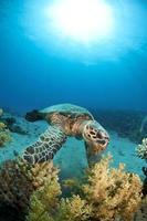 zeeschildpad voederen foto