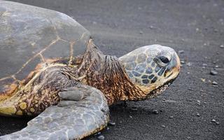 bedreigde groene zeeschildpad in wilde dieren, Hawaï (xxxl) foto