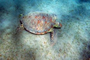 de schildpad foto