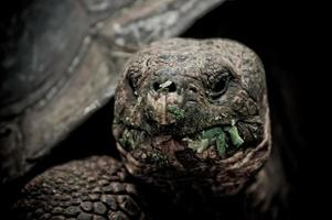 galapagos schildpad in floreana eiland foto