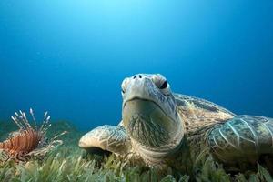 groene schildpad en zeegras foto