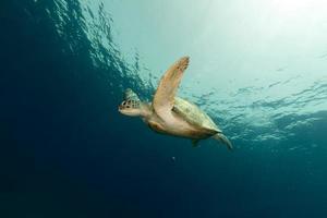 vrouwelijke groene schildpad in de rode zee. foto
