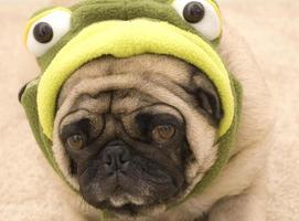 schattige mopshond in schildpad kostuum