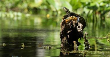 zonnende schildpad foto