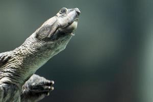 gigantische rivier schildpad