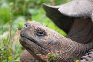 reusachtige galapagos-schildpad die zijn hoofd opheft foto