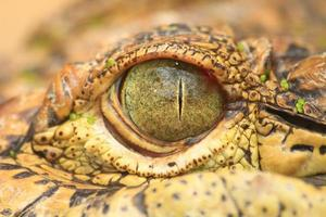 close up van het oog van de krokodil foto