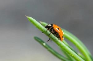 lieveheersbeestje op gras groen op achtergrond.
