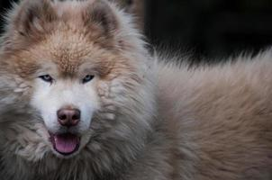 perro samoyedo para trieno de nieve foto