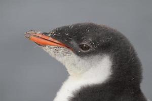 harige gentoo pinguïnkuiken, antarctica foto