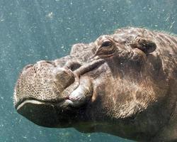nijlpaard onder water foto