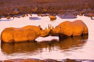 twee zwarte neushoorns in de waterpoel foto