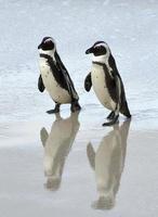 Afrikaanse pinguïns op het strand. foto