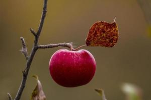 appel in de herfst