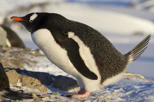 Ezelspinguïn die poepen bij het nest