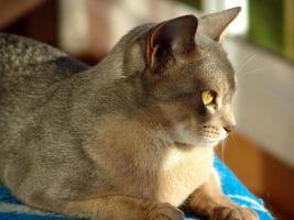 abessijnse kat foto