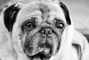 pug hond