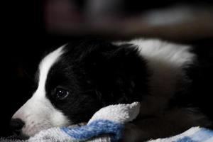 puppy border collie foto