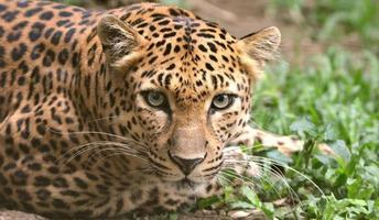 luipaard foto