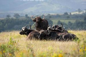 Afrikaanse buffel foto