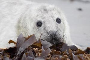 grijze zeehond pup op helgoland duin foto