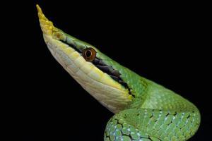 neushoorn rat snake / rhynchophis boulengeri foto