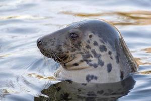 grijze zeehond portret foto