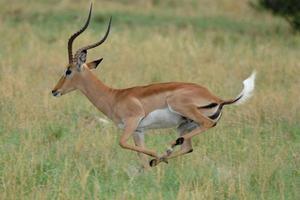 impala ram loopt foto